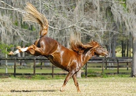 Pervian Paso stallion bucking in the field.