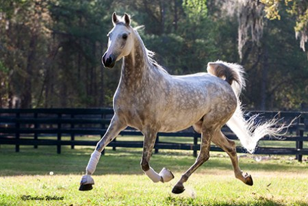Arabian stallion showing extended trot.