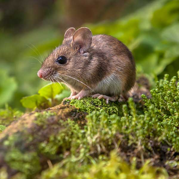 Mice & Rat Control | Baltimore, MD | All Star Pest Management