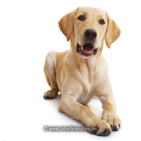 Lauschender Labrador Retriever