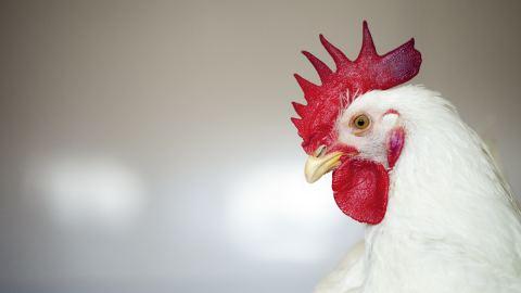 poultry alltech