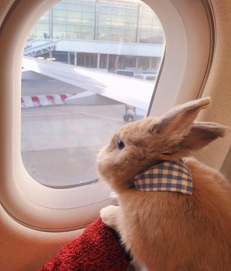 bunny travel airplane flying