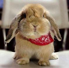 rodeo ready bunny