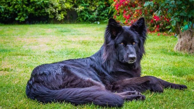 black german shepherd the