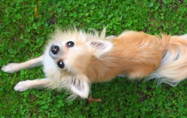 Long Haired Apple Head Chi