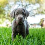 Silver Lab Dog Breed Information And Owner S Guide All Things Dogs All Things Dogs