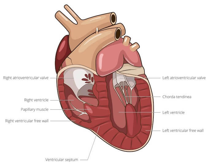 dog internal anatomy diagram 3 phase to single transformer wiring a visual guide muscle organ skeletal drawings cardiac is found in the heart this responsible for pumping blood around body
