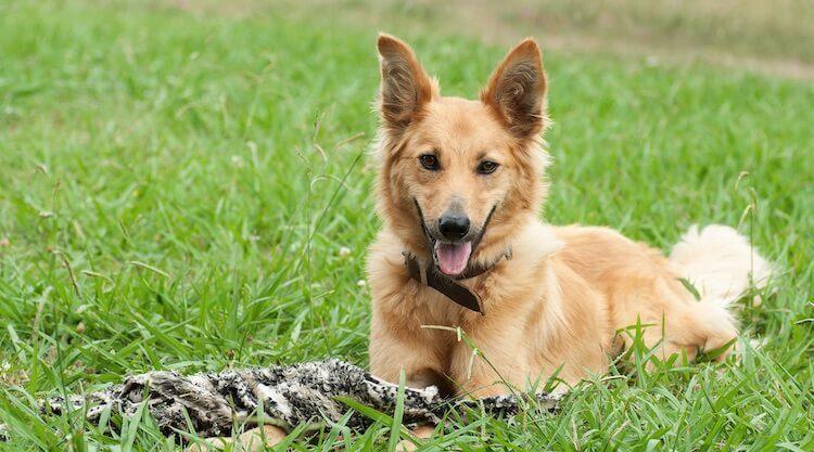 German Shepherd Mix Yellow Lab Golden Retriever