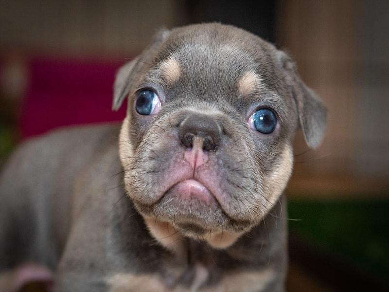 lilac french bulldog