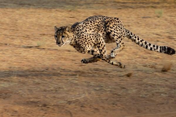 cheetah fastest animal