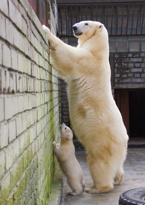 polar bear - tall animals list