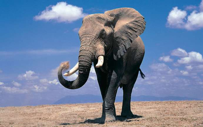 large african elephant - tall animals