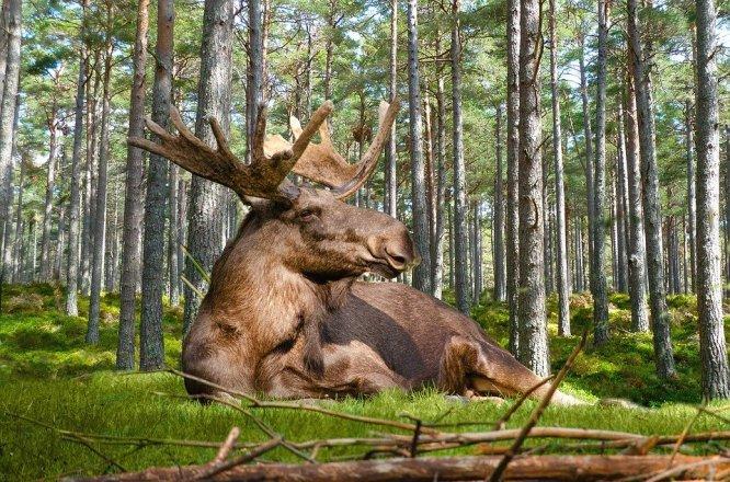 Elch, Wald, Natur, Liegen, Geweih, Männlich, Schweden
