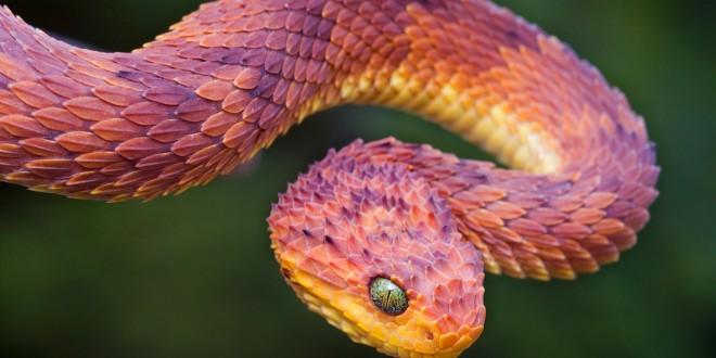 Top Ten Poisonous Snakes