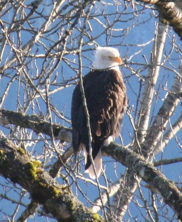 Alma Eagle