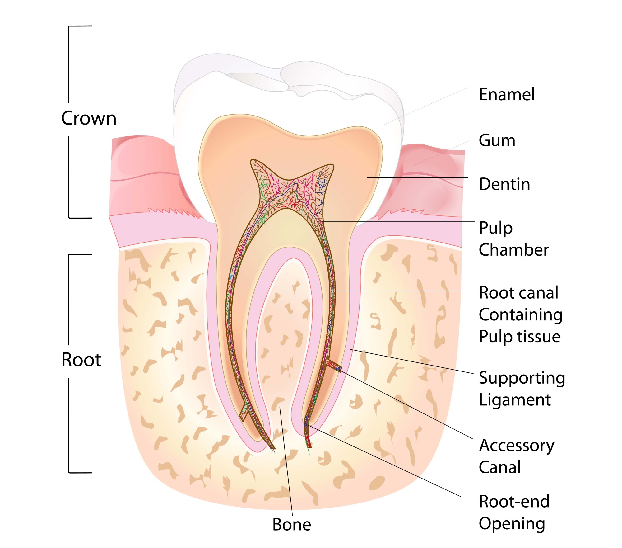hight resolution of root canal vancouver diagram demonstrating the anatomy of a tooth contact us if you
