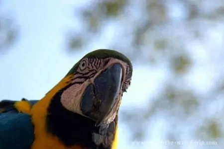 Arara no Pantanal
