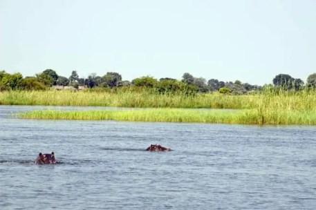 O Delta do Okavango é habitat natural para muitos hipopótamos