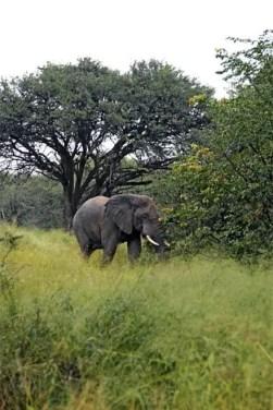 Elefante na Moremi Game Reserve, Delta do Okavango