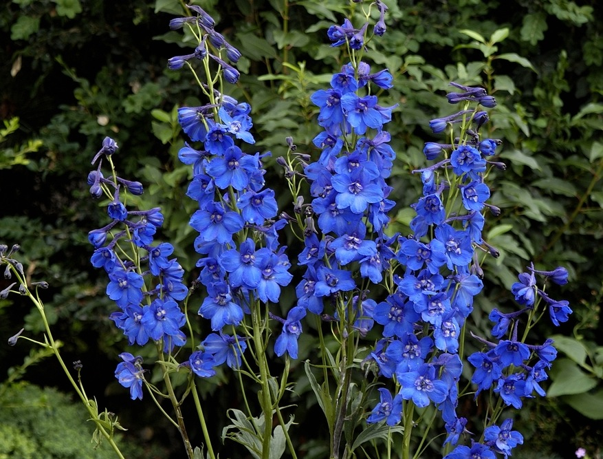Falling Leaves In Water Live Wallpaper Delphiniums How To Plant Grow And Care For Delphinium