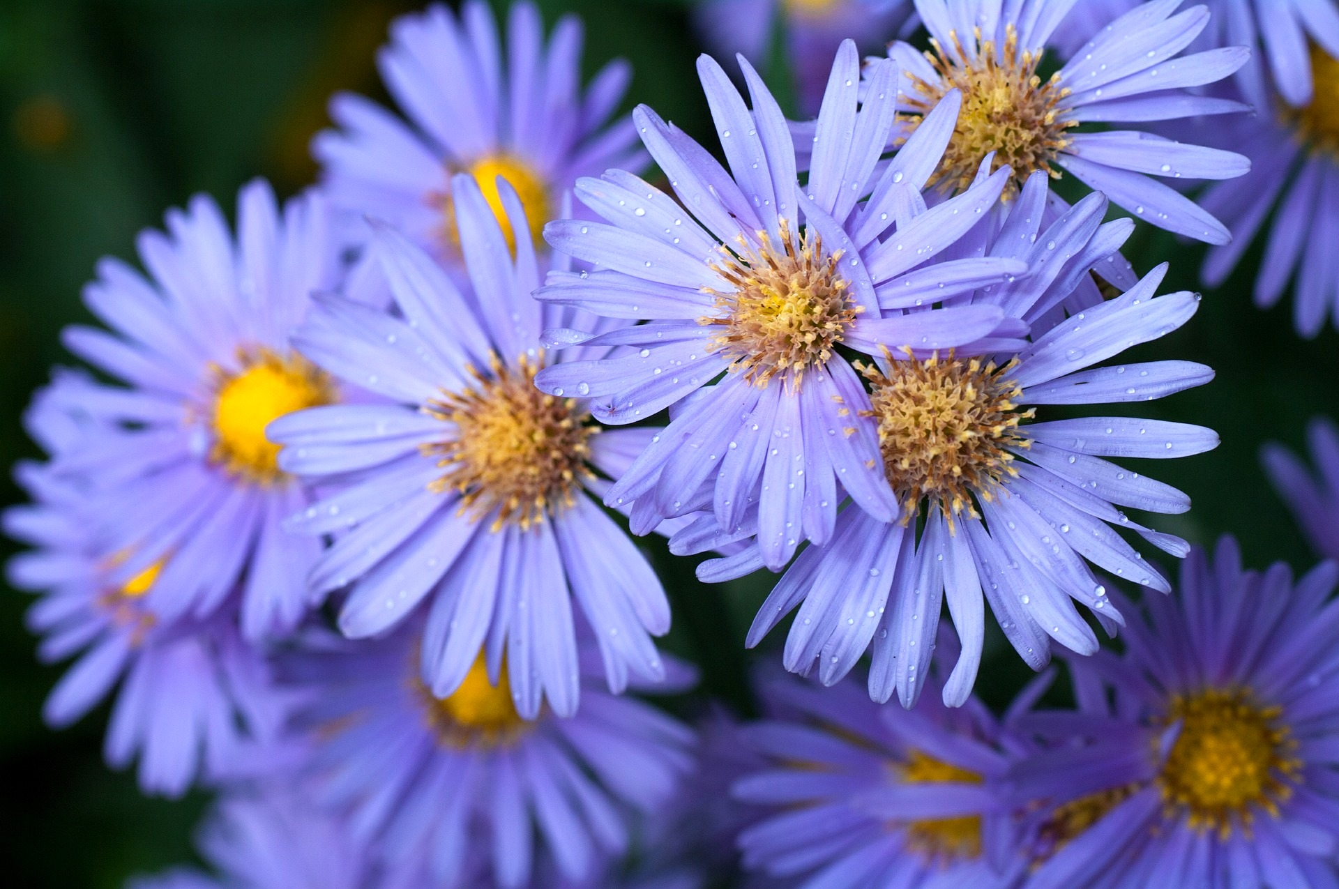 September Birth Flowers Aster and Morning Glory  The Old