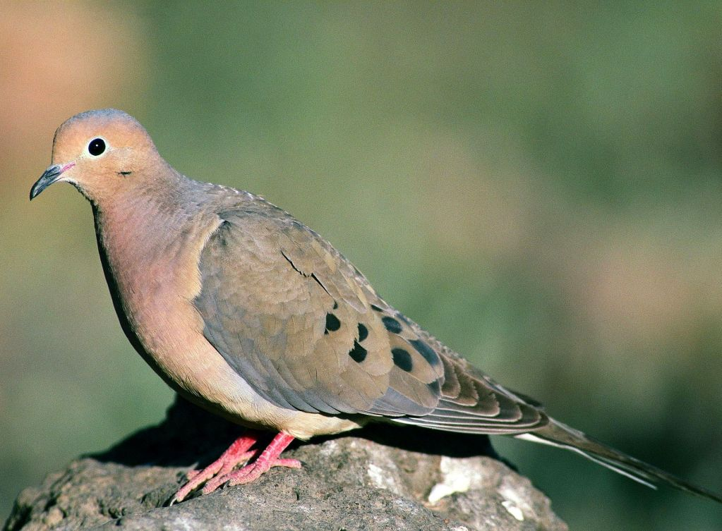 Bird Sounds and Songs of the Mourning Dove | The Old ...