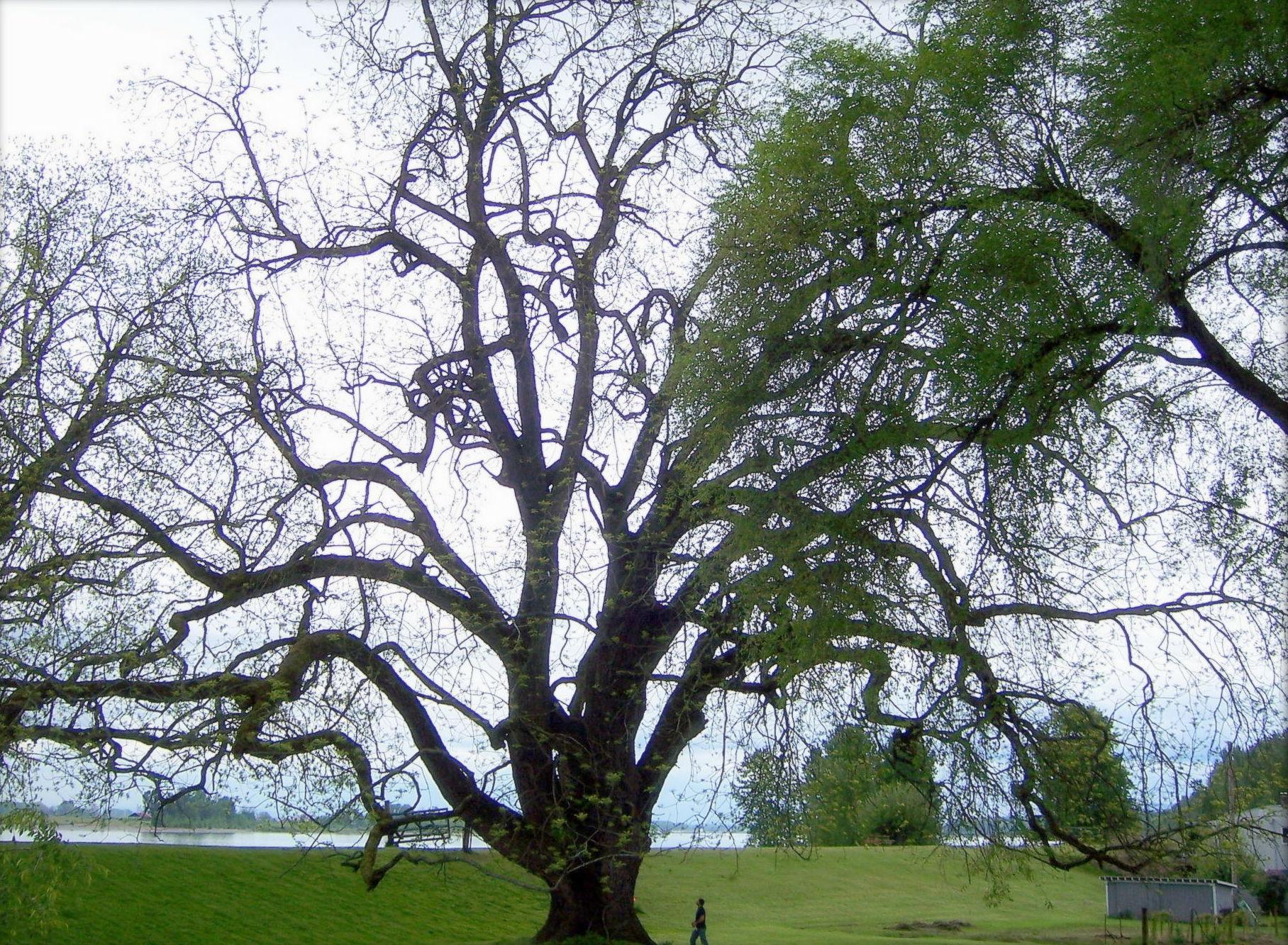 black walnut trees facts