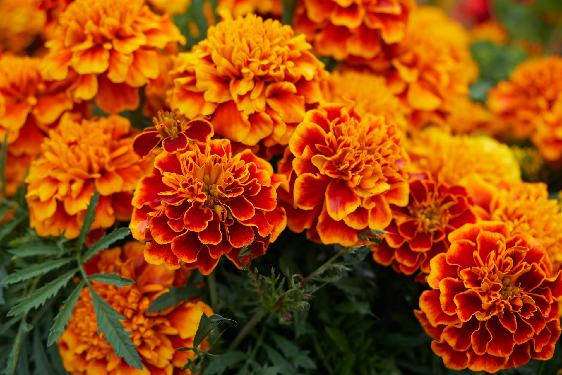 October Birth Flowers Marigold and Cosmos  The Old