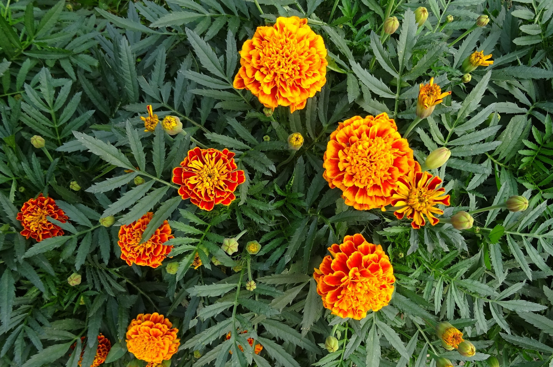 Marigolds How To Plant And Grow Marigold Flowers