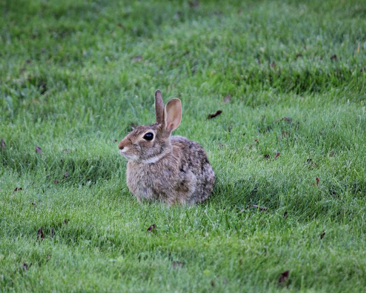 rabbits: how to identify and get rid of rabbits | garden pest