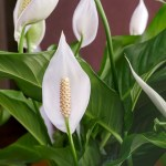 Peace Lilies How To Care For Peace Lily Plants Spathiphyllum The Old Farmer S Almanac