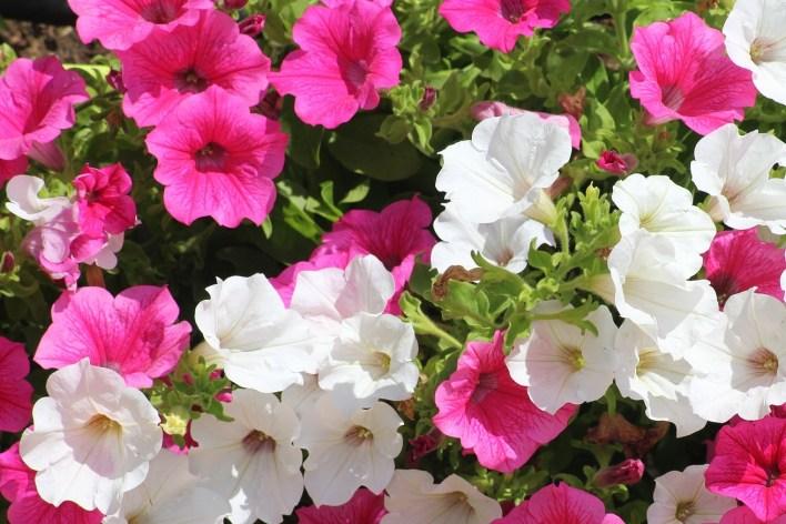 Petunia-Summer Flowers