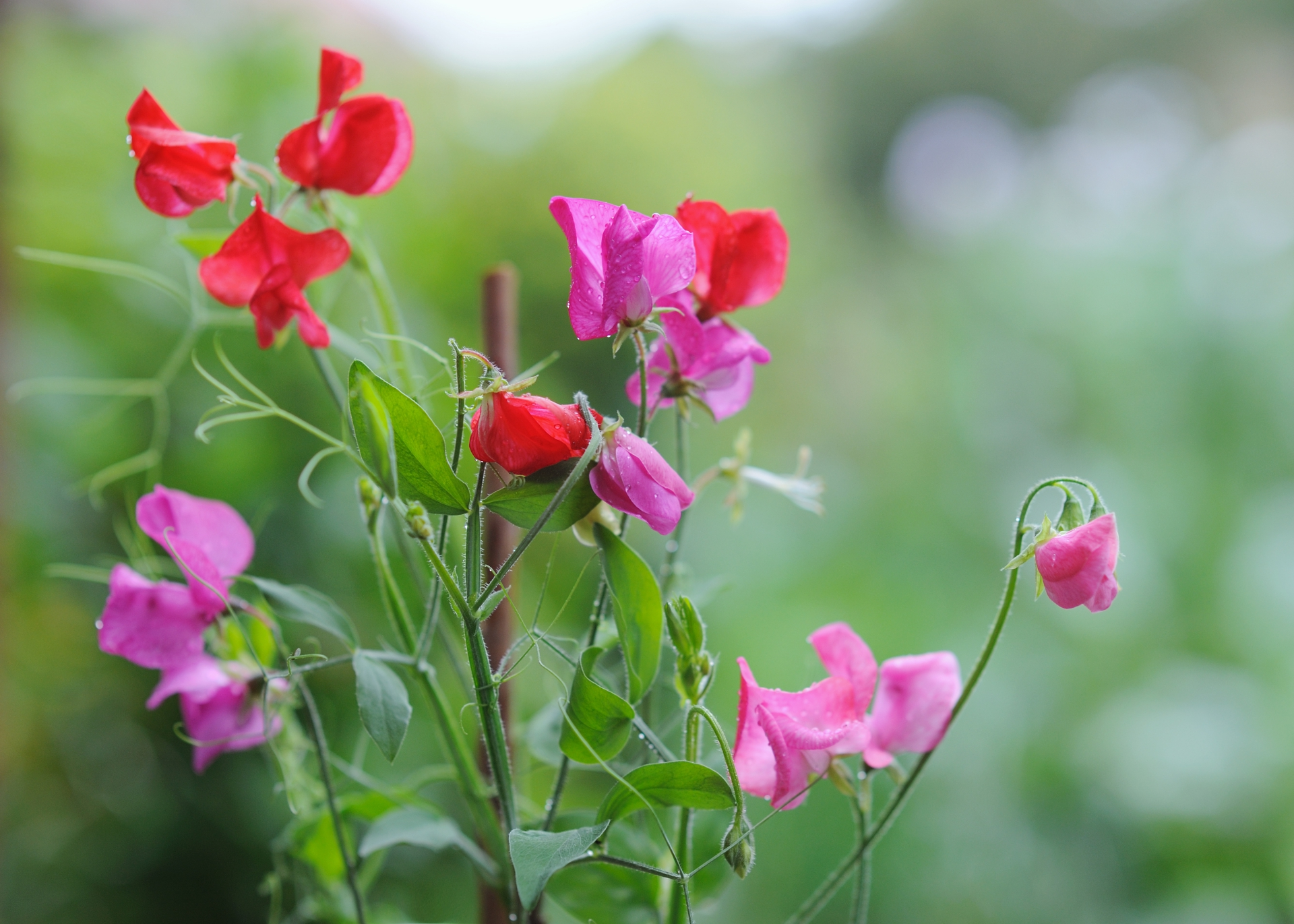 Sweet Peas How To Plant Grow And Care For Sweet Pea