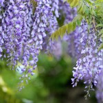Wisteria How To Plant Grow And Care For Wisteria Vines The Old Farmer S Almanac