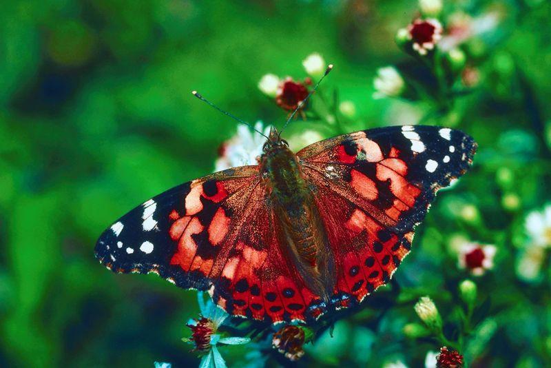 butterflies butterfly attracting garden yard pollination