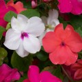 How to plant grow and care for impatiens the old farmer s almanac