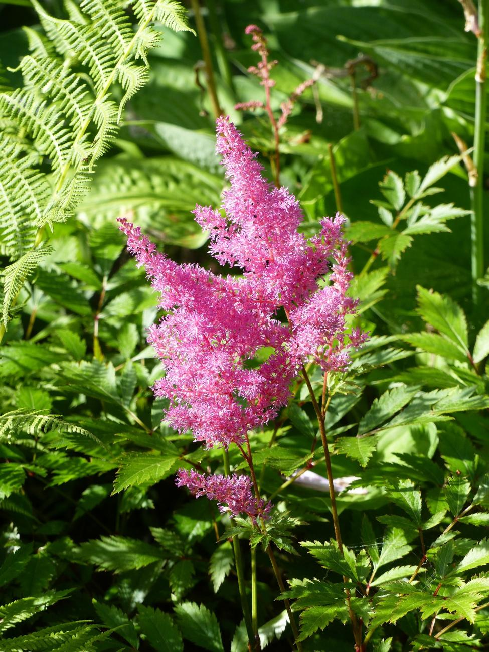 Astilbe How To Plant Grow And Care For Astilbe Flowers