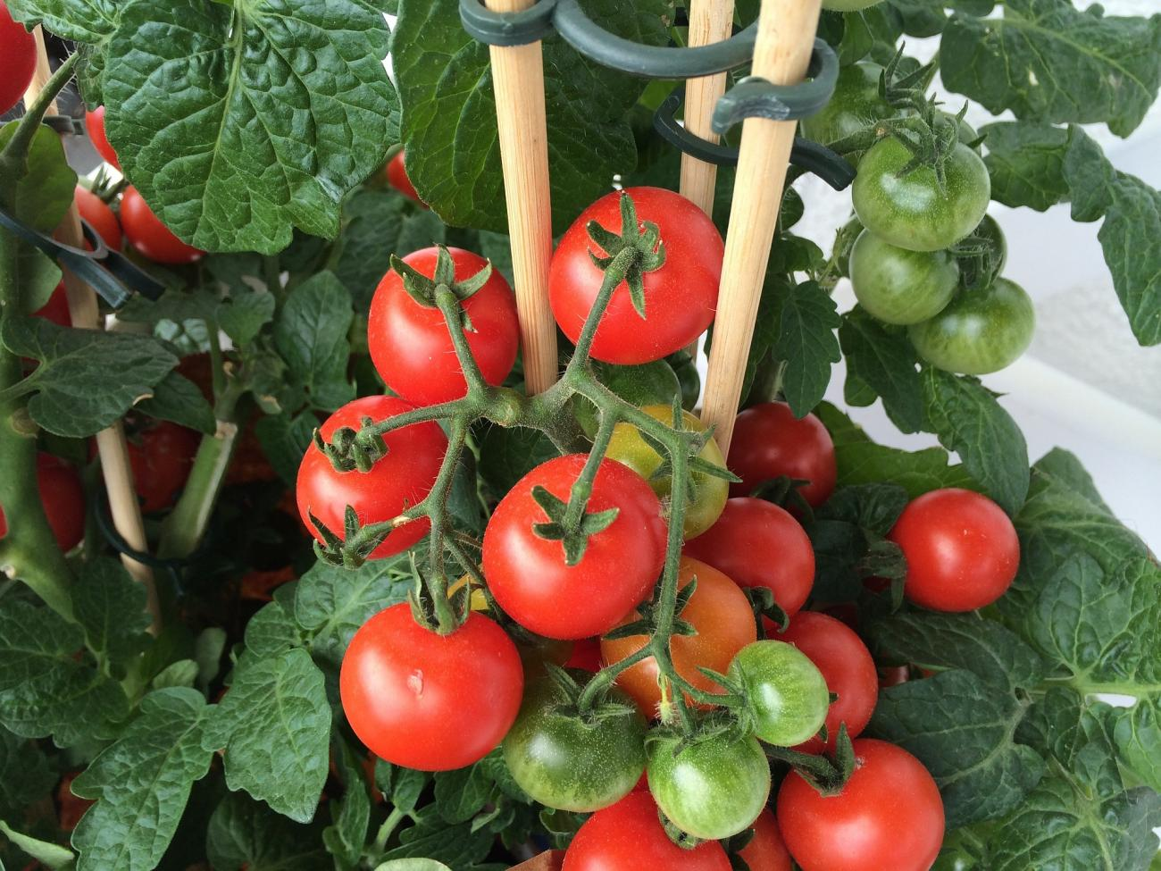 Tomatoes container gardening also with vegetables getting started the old rh almanac