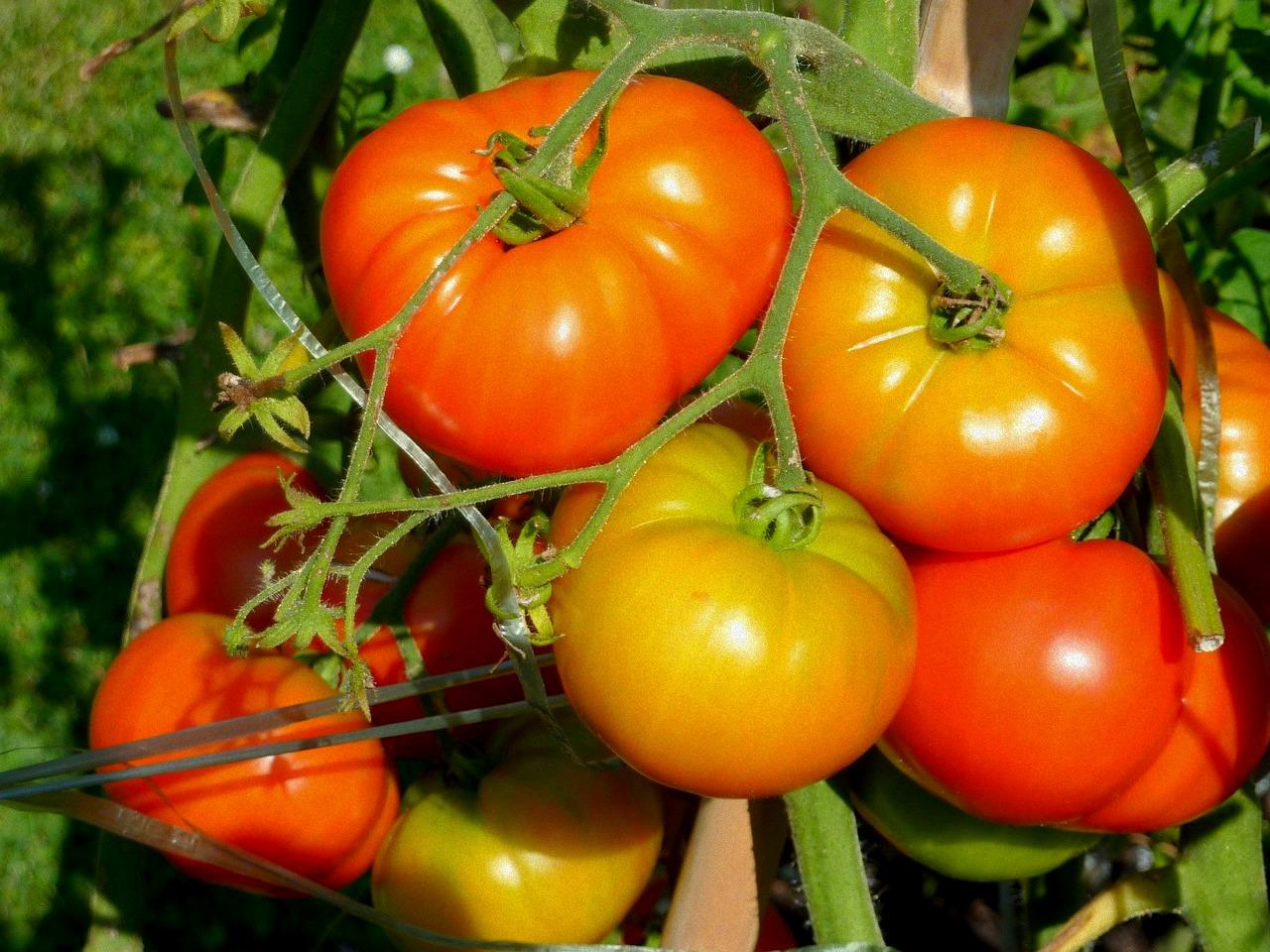 Tomatoes also vegetable garden planner growing guide the old farmer   almanac rh