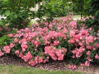 Best Disease-Resistant Roses | Old Farmer's Almanac