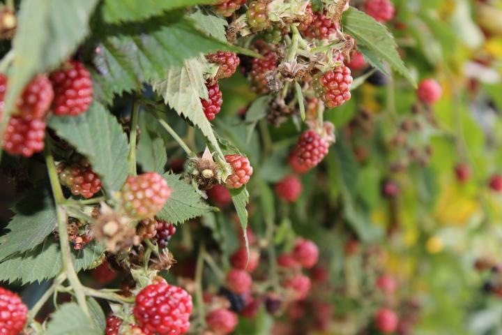 prepare-berry-bushes-winter.jpg