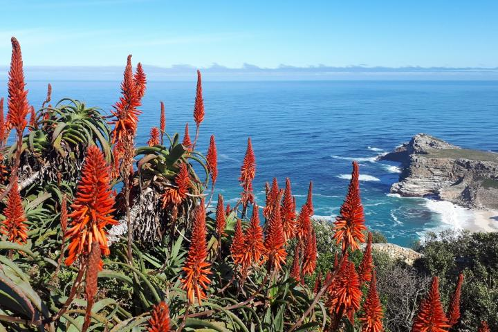 aloe_vera_flowers_outdoor