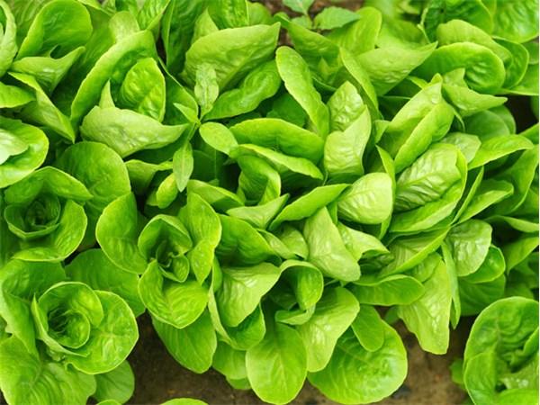 lettuce-little-gem-dsc02222.jpg