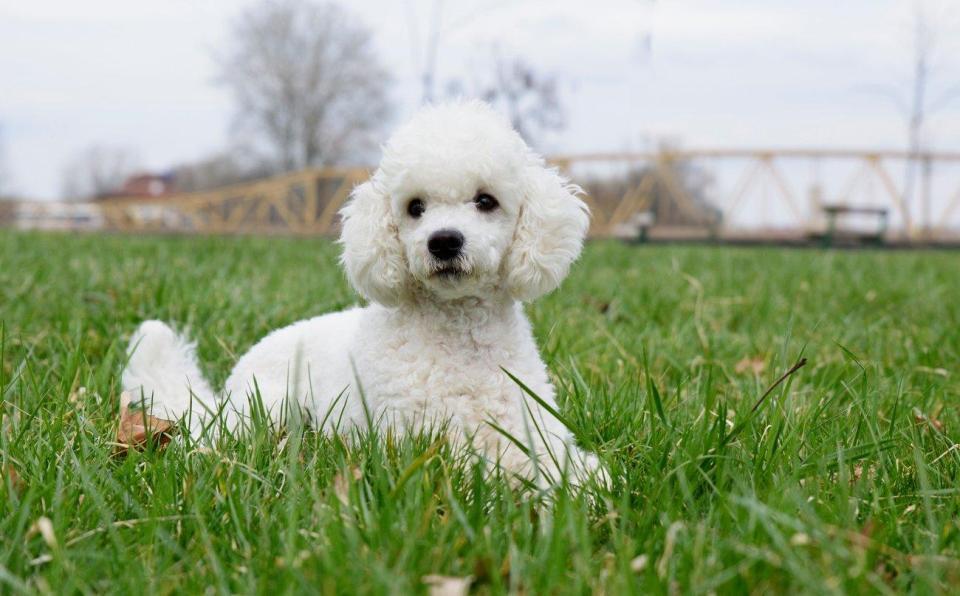 caniche, otra de las mejores razas de perro para ser primera mascota