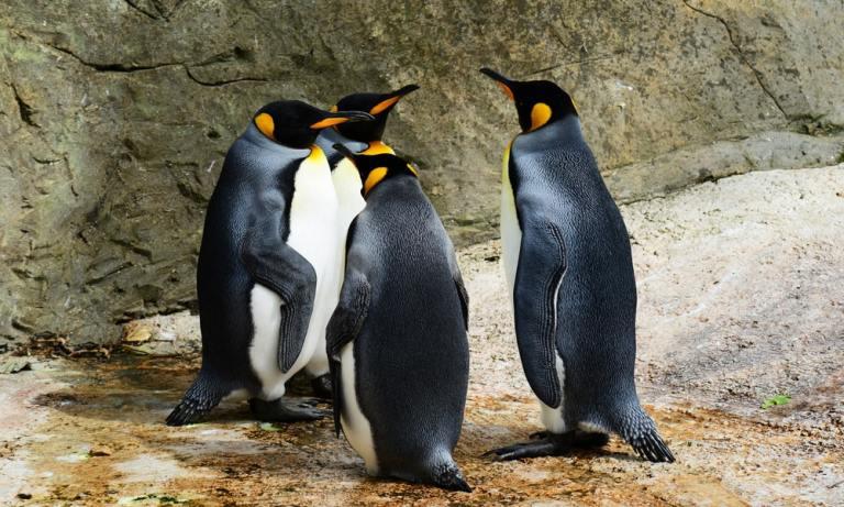 curiosidades sobre pinguinos