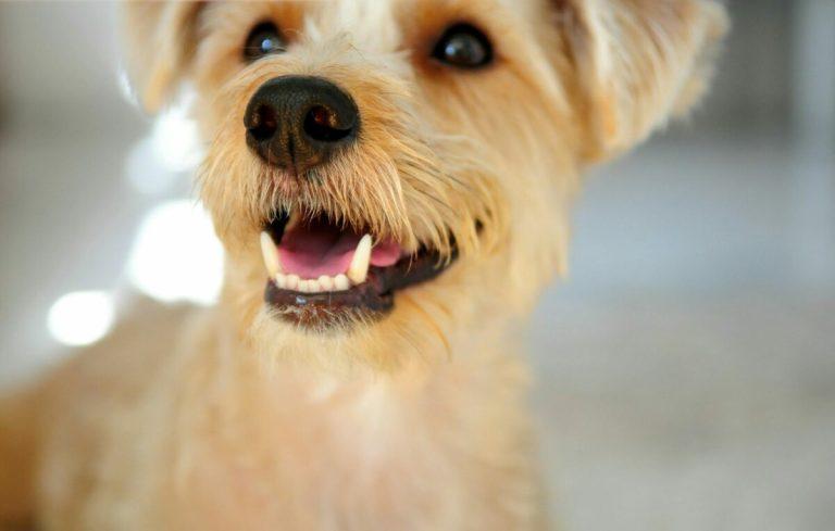 ¿Cuando se le caen los dientes de leche a los perros cachorros?