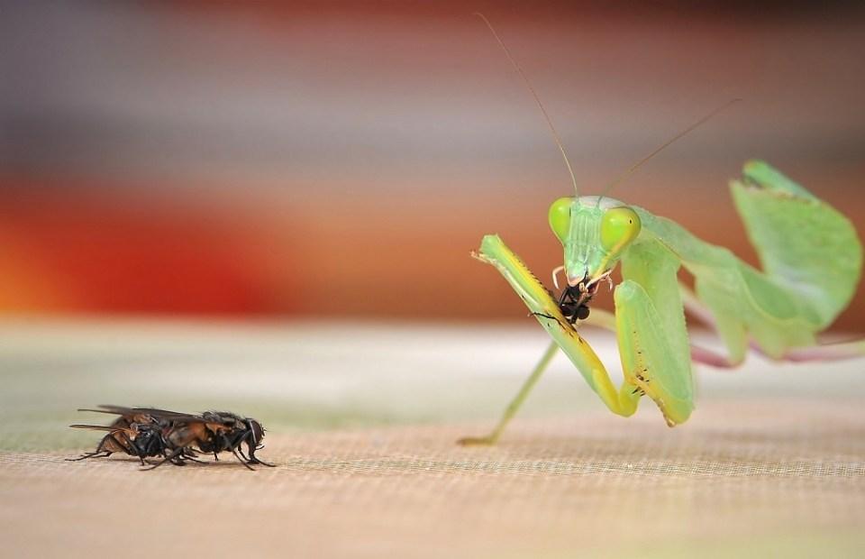 Qué come la mantis religiosa