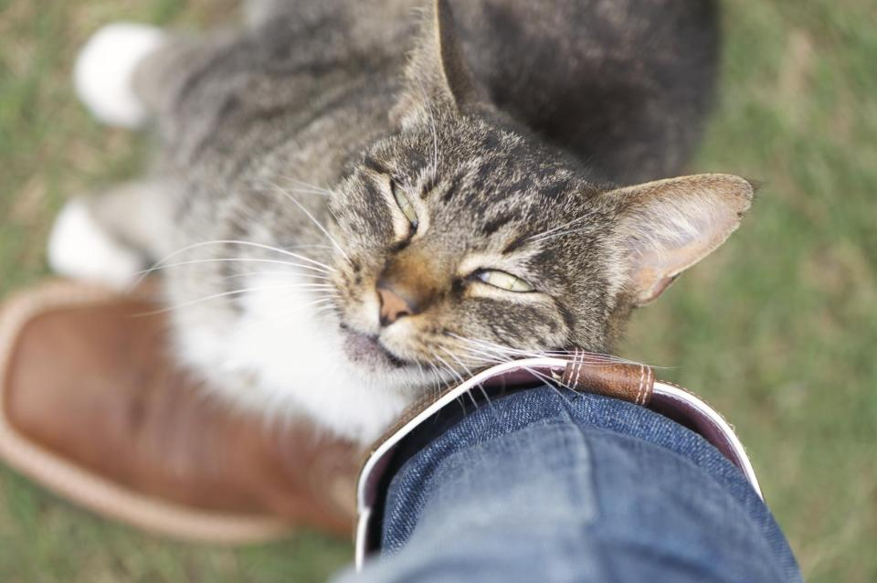 celo en los gatos