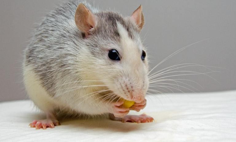 mejores jaulas para ratas