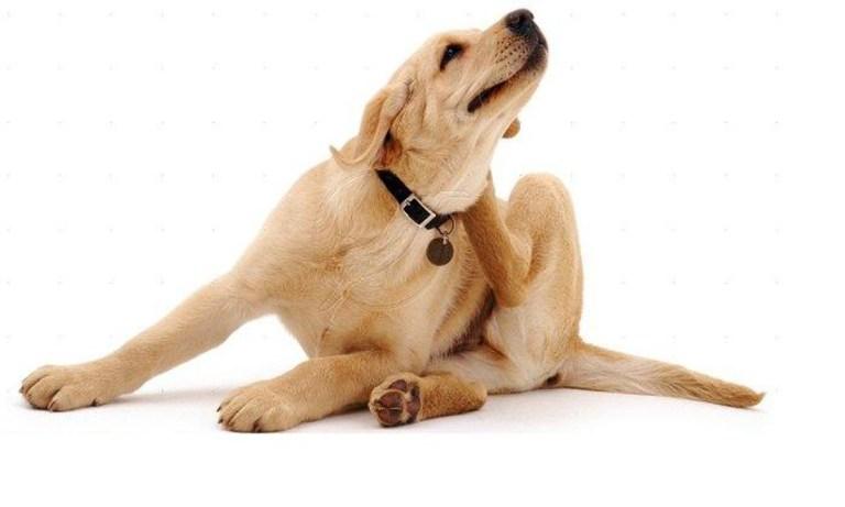 Cómo evitar y eliminar las pulgas del perro y de la casa